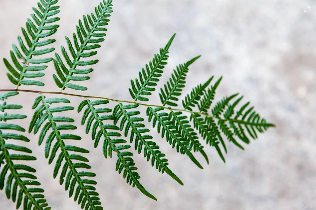 imperfect fern