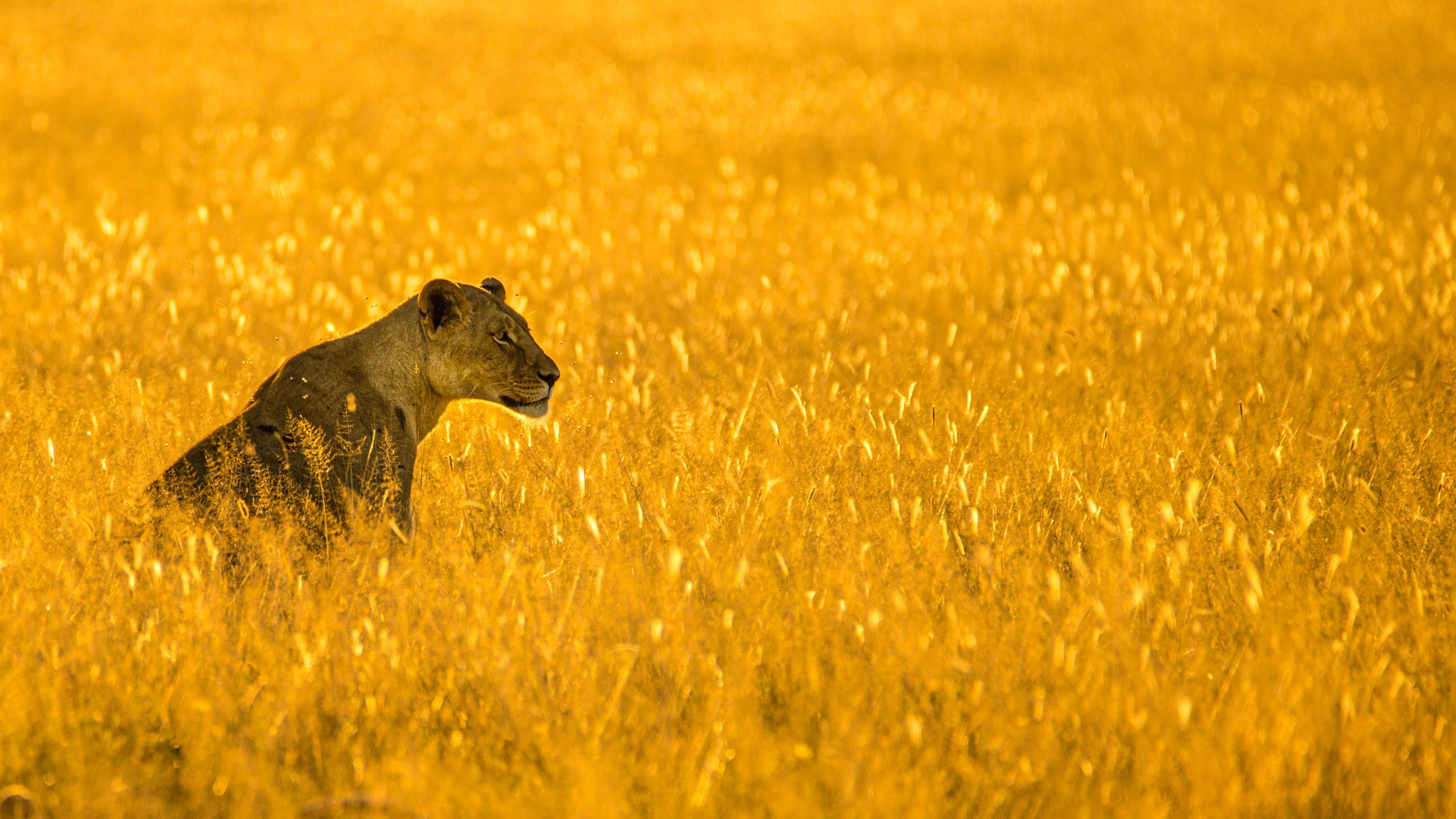 Against a vibrant golden plain, a regal lioness surveys her surroundings.