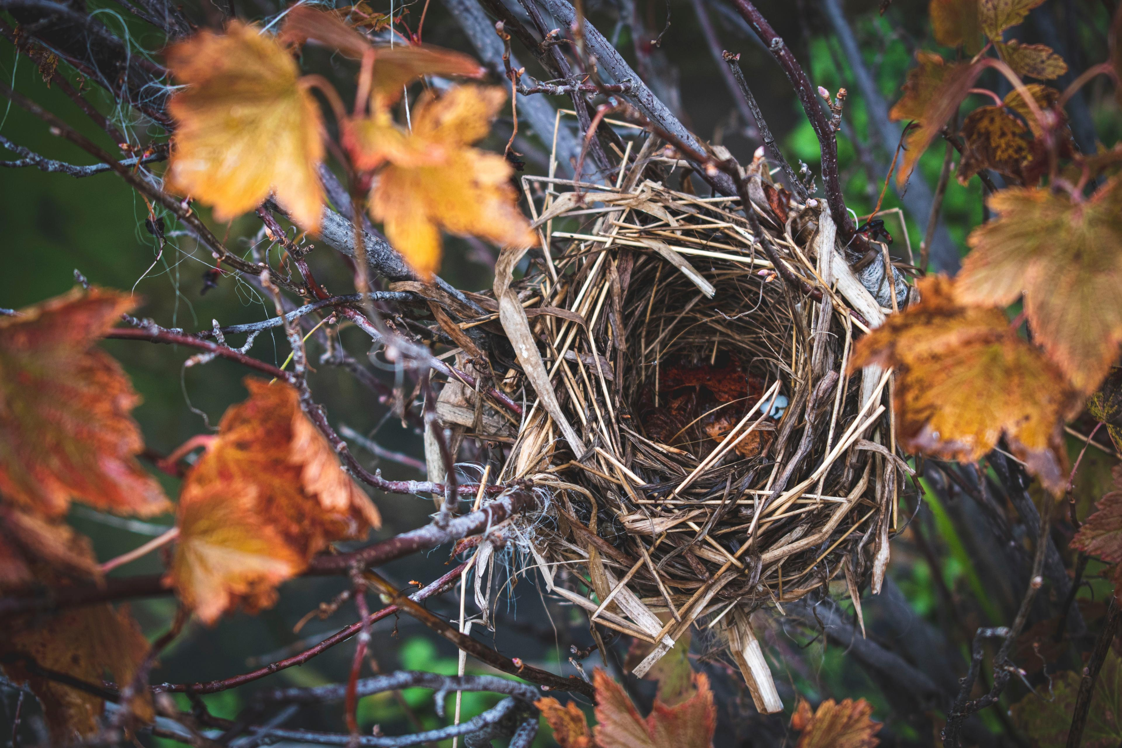 Gold and red autmn leaves surround an abandoned bird's nest