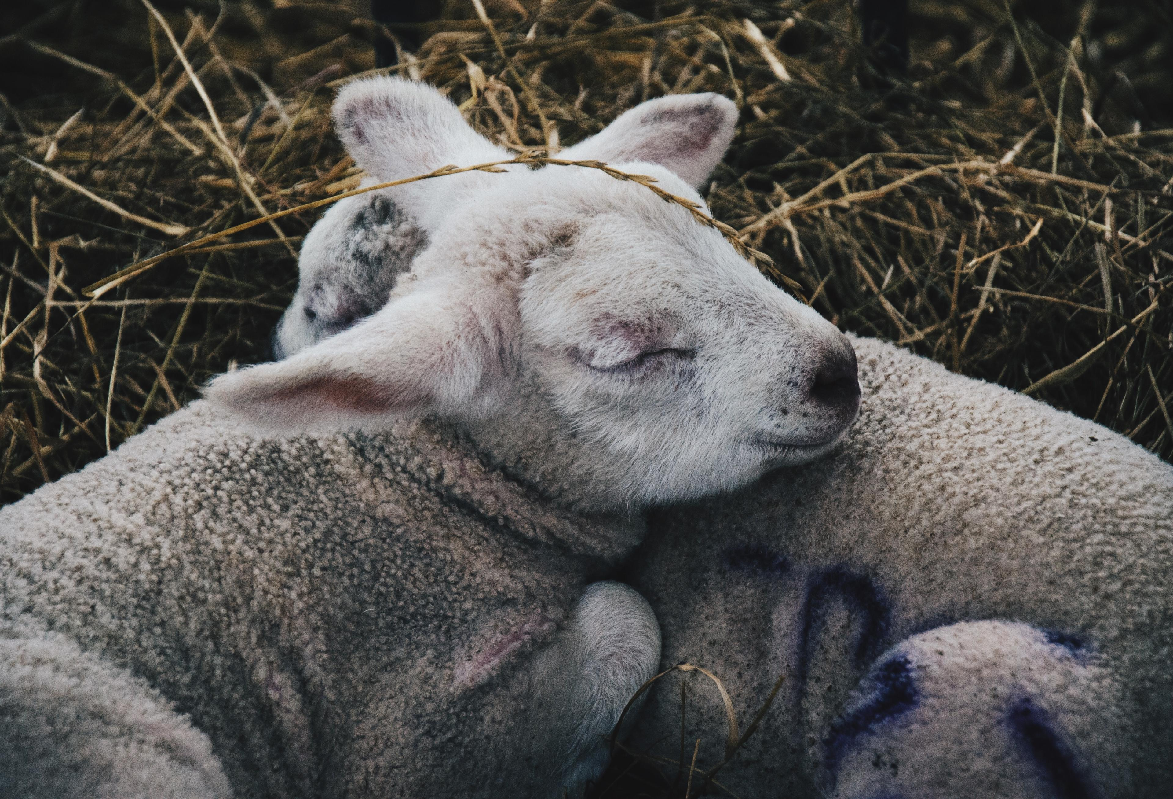 Two baby lambs snuggling in the hay, asleep