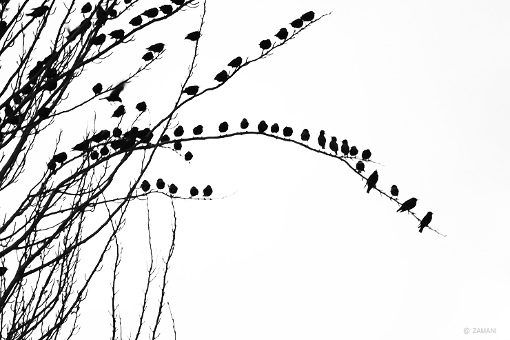Silhouette of a flock of birds on a branch
