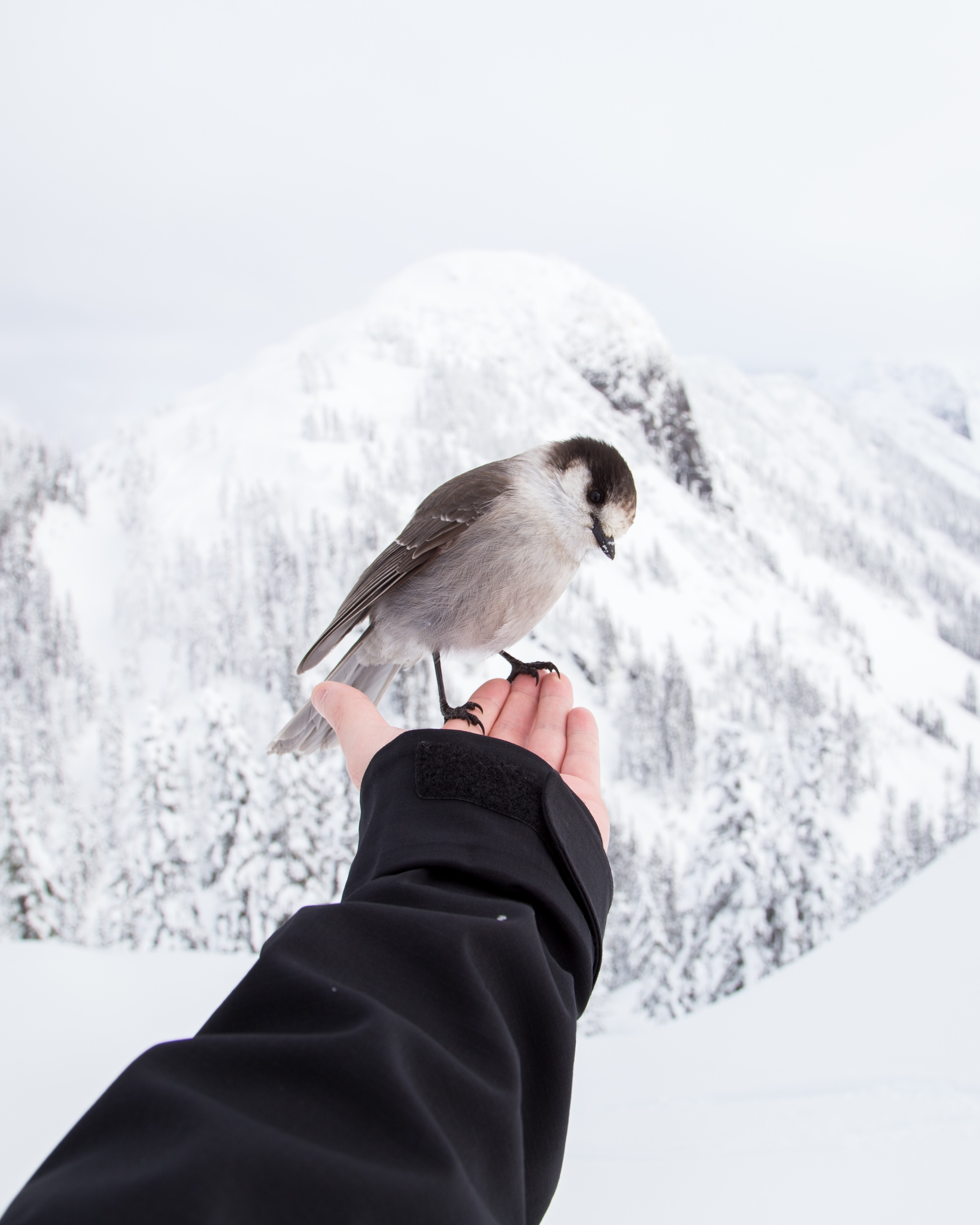 With a snow-covered mountain the background, a human harm reaches out and, on their bare fingers, lightly holds a curious bird.