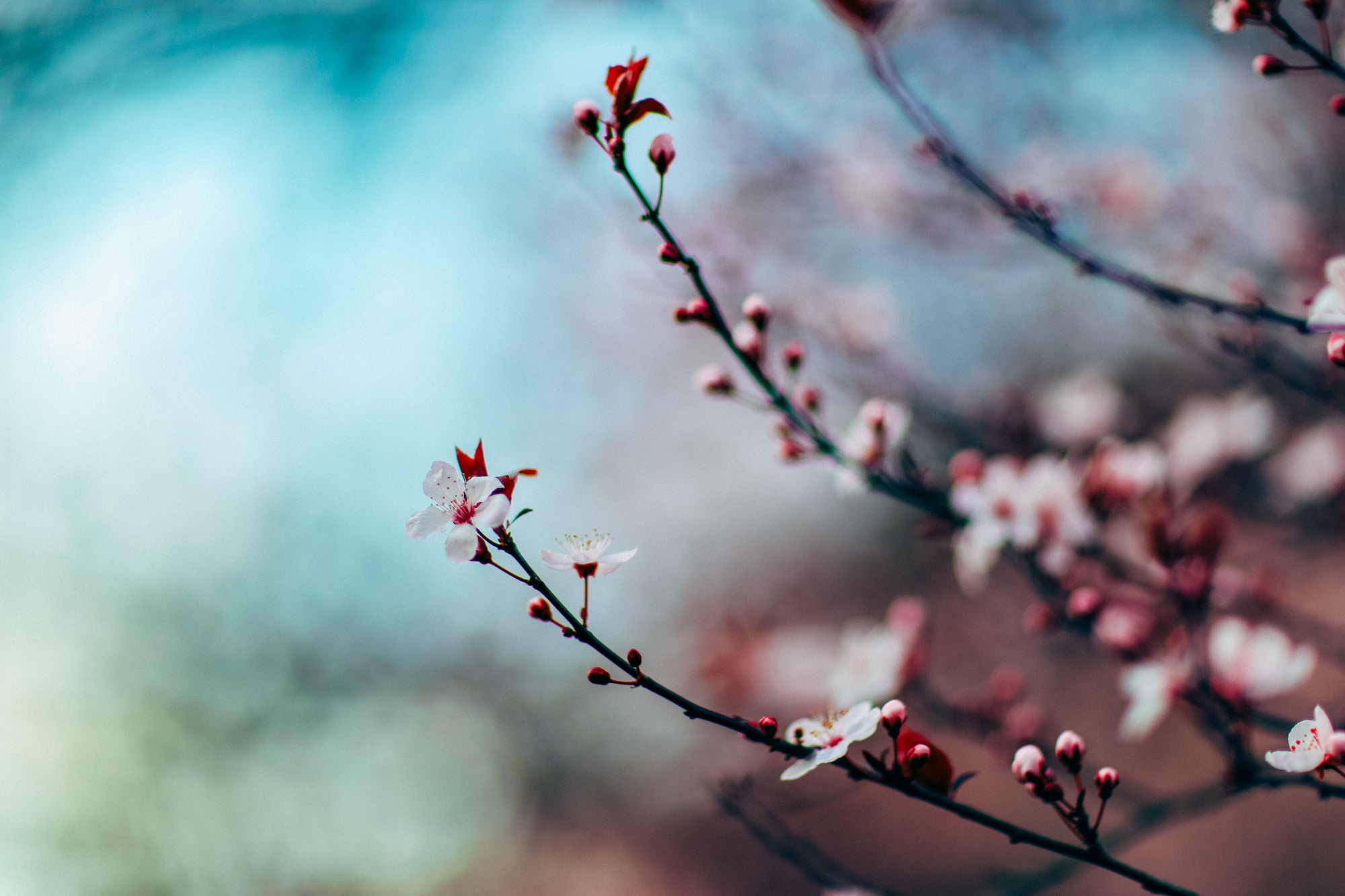 A branch of delicate, pink cherry blossoms