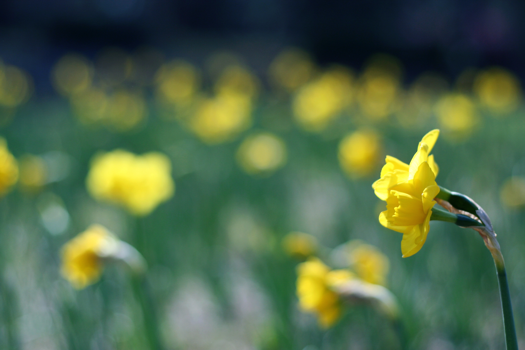 a field of golden daffodil blossoms