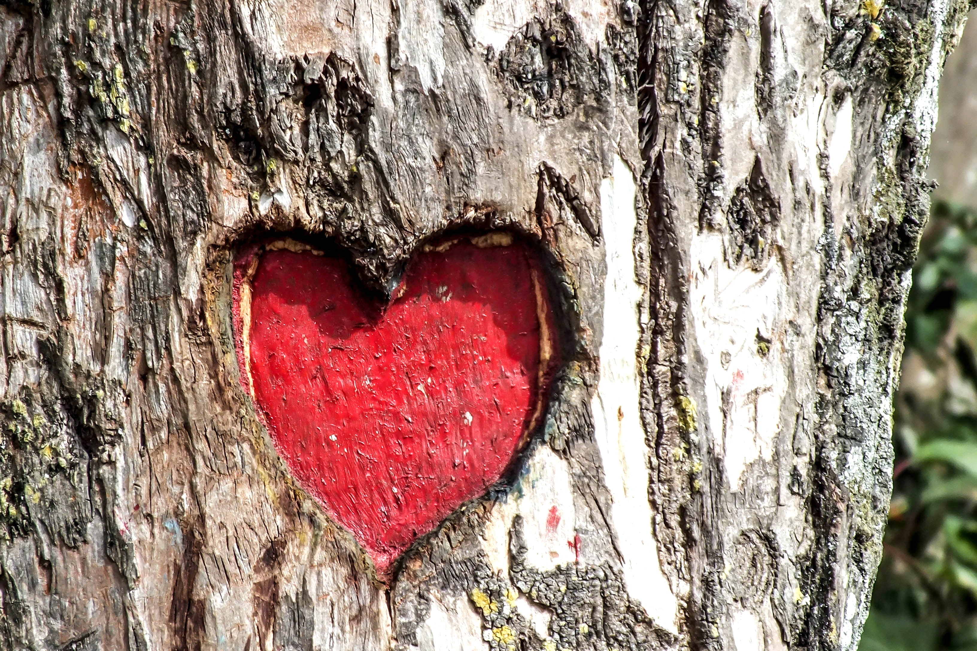 A heart carved into the trunk of a tree, colored in red.