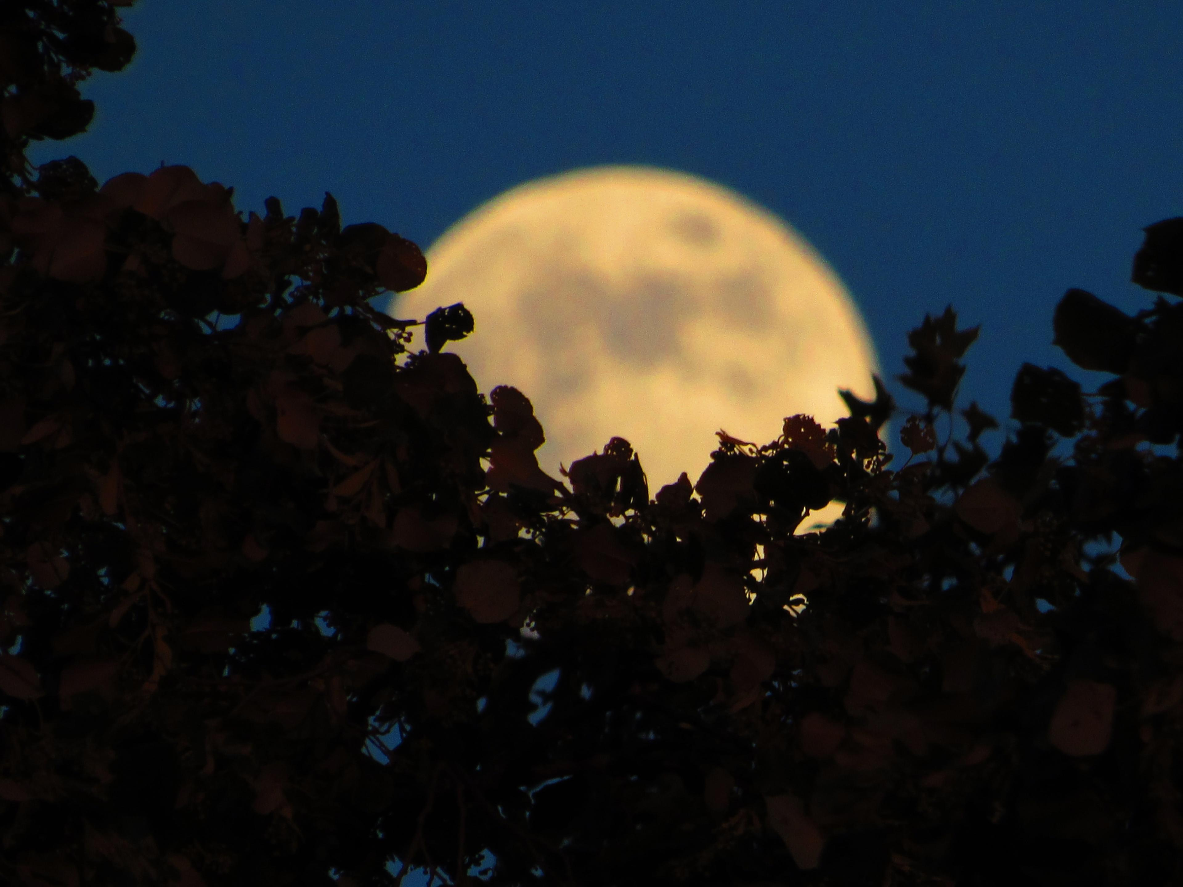A buttery yellow full moon half-covered by lacy leaves and branches.
