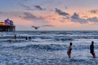 Swimmers in the waves of the sea look to a pink sky, where a murmuration of starlings forms a striking shape.