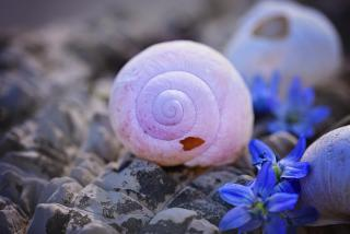 On a bed of rocks, an empty pink snail shell has a small hole. Purple flowers rest nearby.