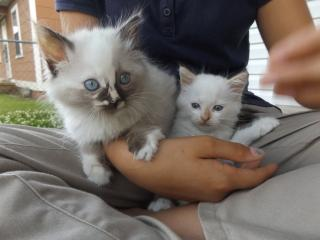 Two fluffy kittens are cradled in a person's lap, looking cute. Because kittens.