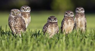 five brown owls standing in a field