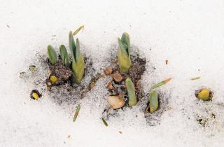 Small green shoots emerge from the snow.