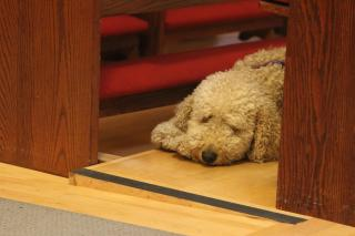 A fuzzy white dog dozes, head on paws, on the floor between two wooden church pews