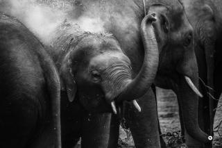 A black-and-white photo of a young elephant playing, between larger elephants
