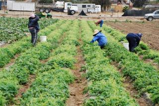 Migrant workers bending and sqatting to pick food from low-lying bushes