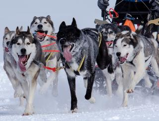 Huskies pulling a dog sled in the snow