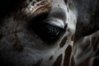 A close up of a giraffe's eye, which has long, feathery eyelashes