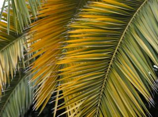 palms from a palm tree thickly overlapping