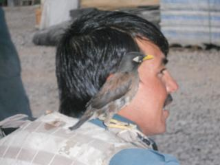A bird sitting on the shoulder of an Afghan Uniformed Police.