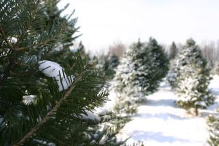 A line of evergreen trees, branches coated with snow, in a snowy field.