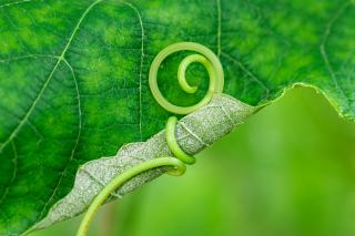 green leaf slightly curled by a tendril embracing it