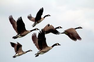 Six wild geese, in flight against a pale sky