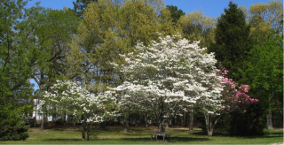 Flowering trees at Murray Grove Retreat and Renewal Center in Lanoka Harbor, NJ.