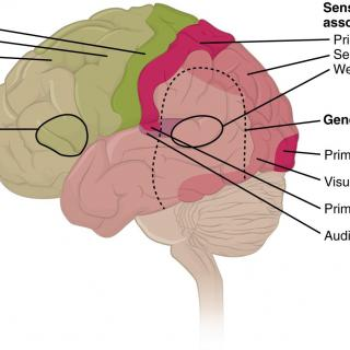 Illustration of the human brain showing cortexes