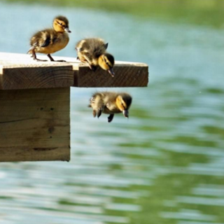 Ducklings jumping from pier into water