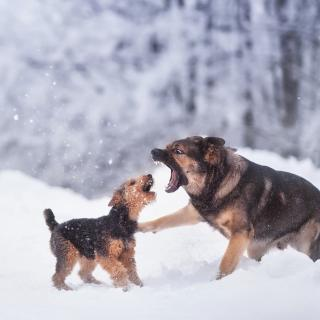 A terrier and shepard fighting in the snow.