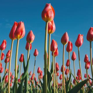 Field of red tulips against a blue sky