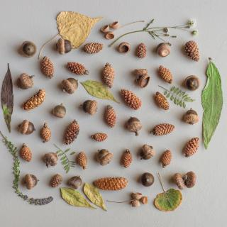 Acorns, pine cones, and leaves arranged on a white surface, photographed from above.