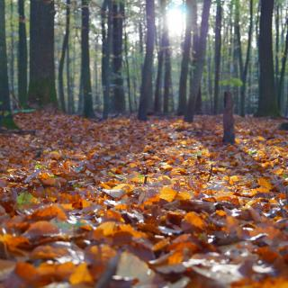 A blanket of crispy leaves blankets the forest floor