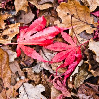 red leaves resting on a carpe of dead leaves