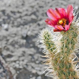 A spiny cactus topped with a bright pink flower.