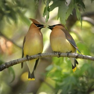 A pair of cedar waxwings together on a branch