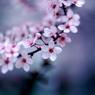 a close up of delicate, pink cherry blossoms on a branch