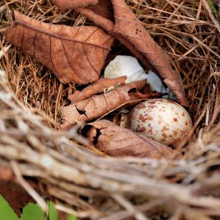 A speckled egg and leaves inside of a bird's nest