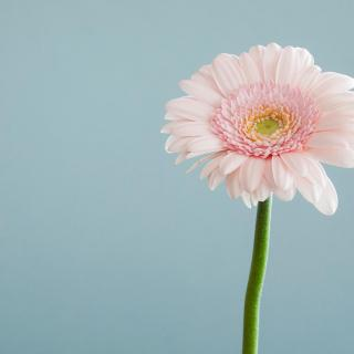 A pale pink Gerbera daisy, with its green stalk in front of a pale blue background