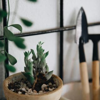 A small potted succulent next to gardening tools