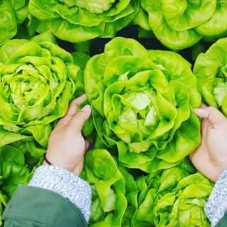 Seen from above, a person's hands reach down to grasp a head of lettuce from a flat full of lettuce.
