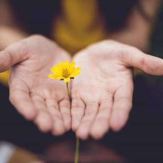 Two open hands, palms up, pin the stem of a small yellow flower.