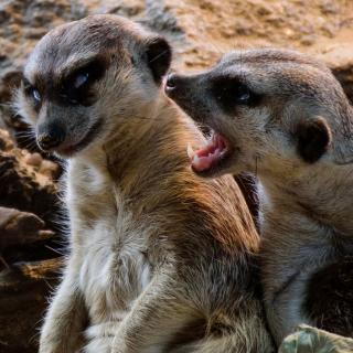 Annoyed Meerkats interacting