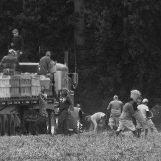 migrant workers, in a field, harvest sweet potatoes in Johnston County, North Carolina.