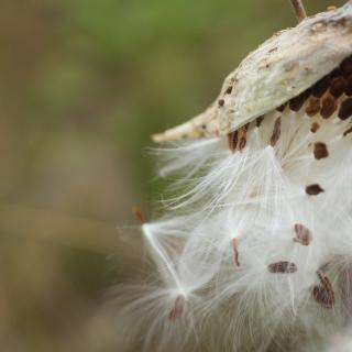 A milkweed pod, split open, spills its feathery white seeds into the air