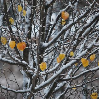 A snow-covered poplar bush, with only a few golden leaves