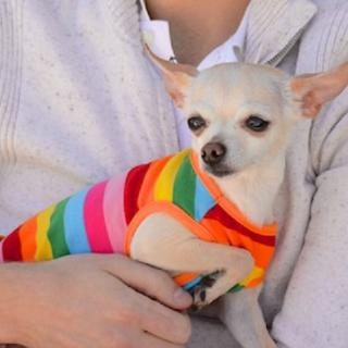 Chihuahua in a rainbow sweater being held by a human