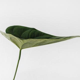 A single tropical green leaf against a white wall.
