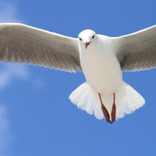 A large seagull, wings outspread against a blue sky, gazes down at the photographer