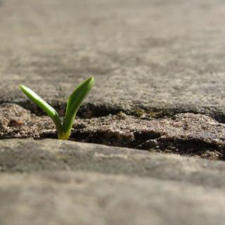 From a small crack in pavement, the green leaves of a tiny seedling emerge.
