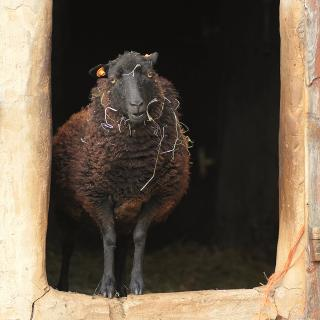 In the doorway of a barn, a wooly black sheep looks straight into the camera, smiling (yes, smiling)